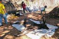 El ciervo murió en el Parque Natural Khun Sathan, Tailandia.