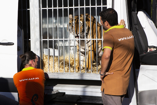 Viajan hacia España cinco tigres salvados de la muerte en la frontera entre Polonia y Bielorrusia