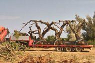 Extracción de olivos milenarios en la provincia de Tarragona.