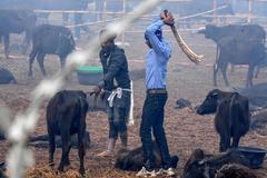 Arranca la mayor matanza del mundo: 300.000 animales serán degollados