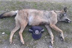 Lobo atropellado el pasado mes de julio en la M-608 a la altura de Guadalix de la Sierra