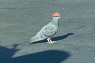 Muchos internautas han compartido fotosde las palomas que han aparecido misteriosamente ataviadas con sombrero en Las Vegas.
