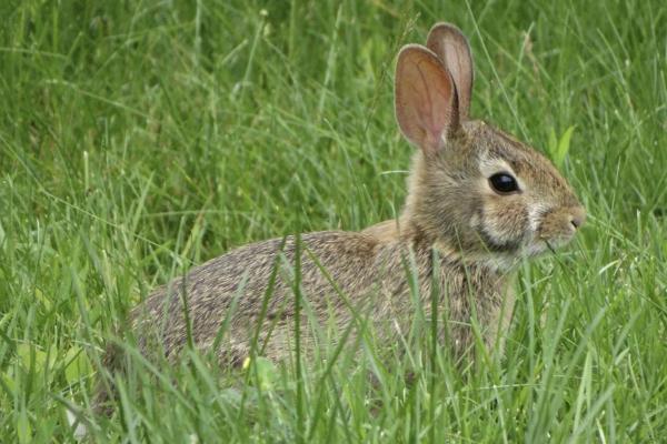 Un conejo europeo ('Oryctolagus cuniculus'), ahora catalogado como...