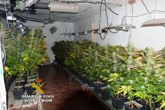 Plantación descubierta en Almassora.