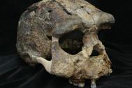 Cráneo 'Pithecantropus VIII' del yacimiento de Sangiran.