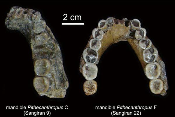 Mandíbulas 'Pithecanthropus C' y 'F', halladas en Sangiran.