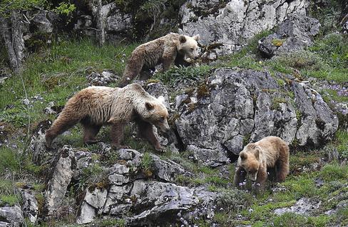 Vuelve el rey de nuestros montes: el oso pardo
