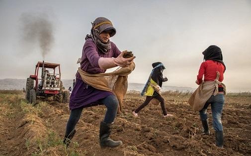 Una niña de 11 años se estrena como jornalera en la recogida de la patata durante la temporada de verano