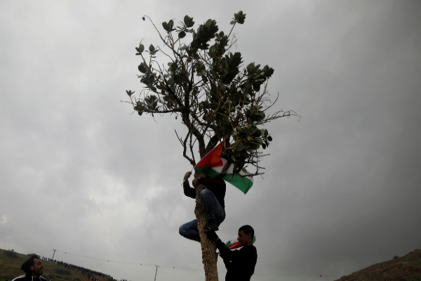 A Palestinian demonstrator climbs a tree to hang a Palestinian flag...