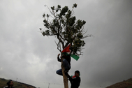 A Palestinian demonstrator climbs a tree to hang a Palestinian flag during a protest against the U.S. president Donald TrumpÕs Middle East peace plan, in Jordan Valley in the Israeli-occupied <HIT>West</HIT> <HIT>Bank</HIT>