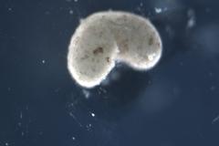 Un 'xenobot' fabricado con células de rana