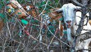 Se cree que en el islote de es Vedrà sobreviven una veintena de cabras tras la matanza ejecutada por el Govern en 2016. SERGIO G. CAÑIZARES