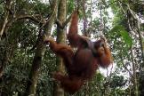 Un orangután cuelga de un arbol en un parque natural de Sumatra.