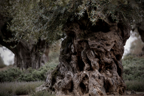 La puja por los olivos más viejos que España
