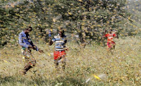 Samburu men attempt to fend-off a swarm of desert lt;HIT gt;locusts lt;/HIT gt; flying over a grazing land in Lemasulani village, Samburu County, Kenya January 17, 2020. REUTERS/Njeri Mwangi - RC2OHE9T9T70
