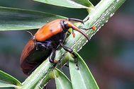 Picudo rojo (Rhynchophorus ferrugineus), el escarabajo más destructivo de las palmeras.