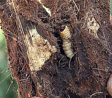 Larva alimentándose en el interior de una palmera.