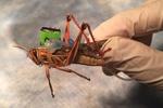 El nuevo arma de EEUU contra la guerra biológica: saltamontes cíborgs