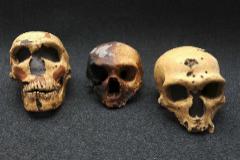 Imagen de archivo de cráneos usados en 2010 para descifrar el genoma neandertal.