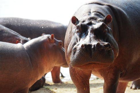 La última herencia de Pablo Escobar: 60 hipopótamos llamados 'escobares'
