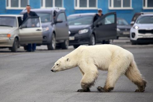 Un oso polar a las afueras de la ciudad de rusa de Norilsk, el pasado junio