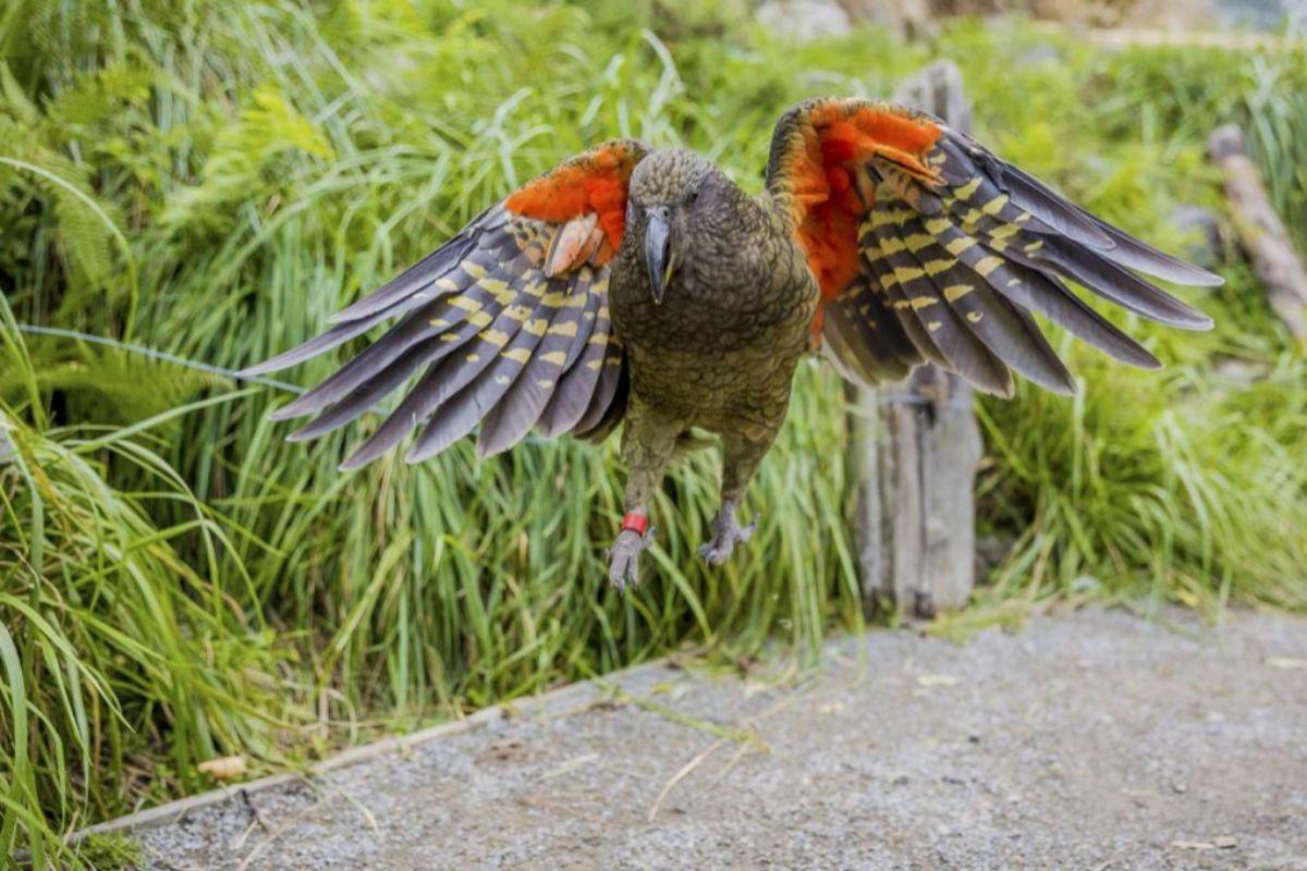 Experimento con loros kea, de Nueva Zelanda.