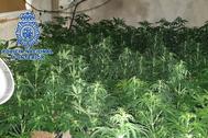 Plantación de marihuana descubierta en dicha operación.