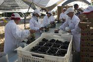 Trabajadores de una explotación agrícola de Moguer (Huelva) en la recogida de frutos rojos.
