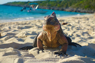 Iguana en una playa de las islas bahameñas de Exuma. SHUTTERSTOCK