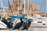 Dos 'corbs maríns' en el puerto con la Catedral al fondo. ALBERTO VERA