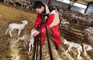 Fabián, un ganadero, el pasado martes, en una explotación de corderos lechales de Macotera (Salamanca).