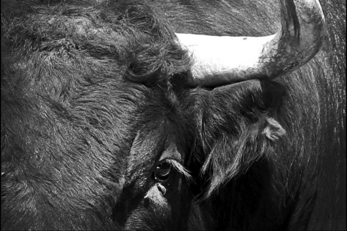 Holocausto del campo bravo en el matadero: 12.000 toros sin salida