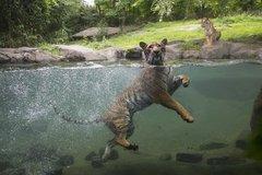 El hombre pasa el virus a la tigresa Nadia y a una gata belga
