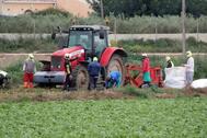 Varios trabajadores agrícolas recolectan patata en una finca del campo de Murcia.