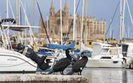 Dos cormoranes en el muelle de Palma frente a la Catedral. ALBERTO VERA