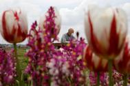 Un hombre con mascarilla sentado en uno de los parques, en Sakura, donde van a cortarse miles de tulipanes.
