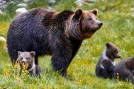 Una osa, junto a sus crías.