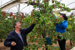 La pareja de temporeros rumanos Dorina y Marinel, en la plantación de cerezos de Albalate