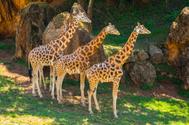 Cuatro jirafas del Parque de la Naturaleza de Cabárceno se refugian en la sobra.