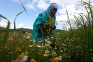Una mujer palestina recoge flores en su granja cerca de Nablus.