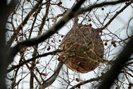Un nido de avispa asiática en un árbol.