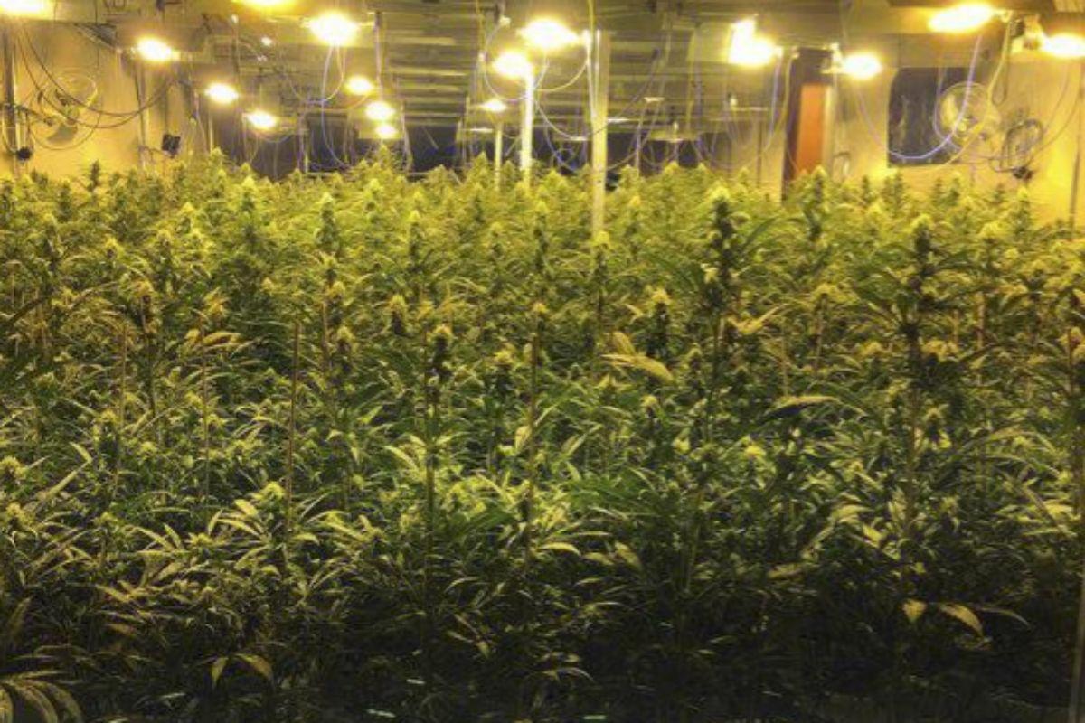 Imagen de una plantación de marihuana.