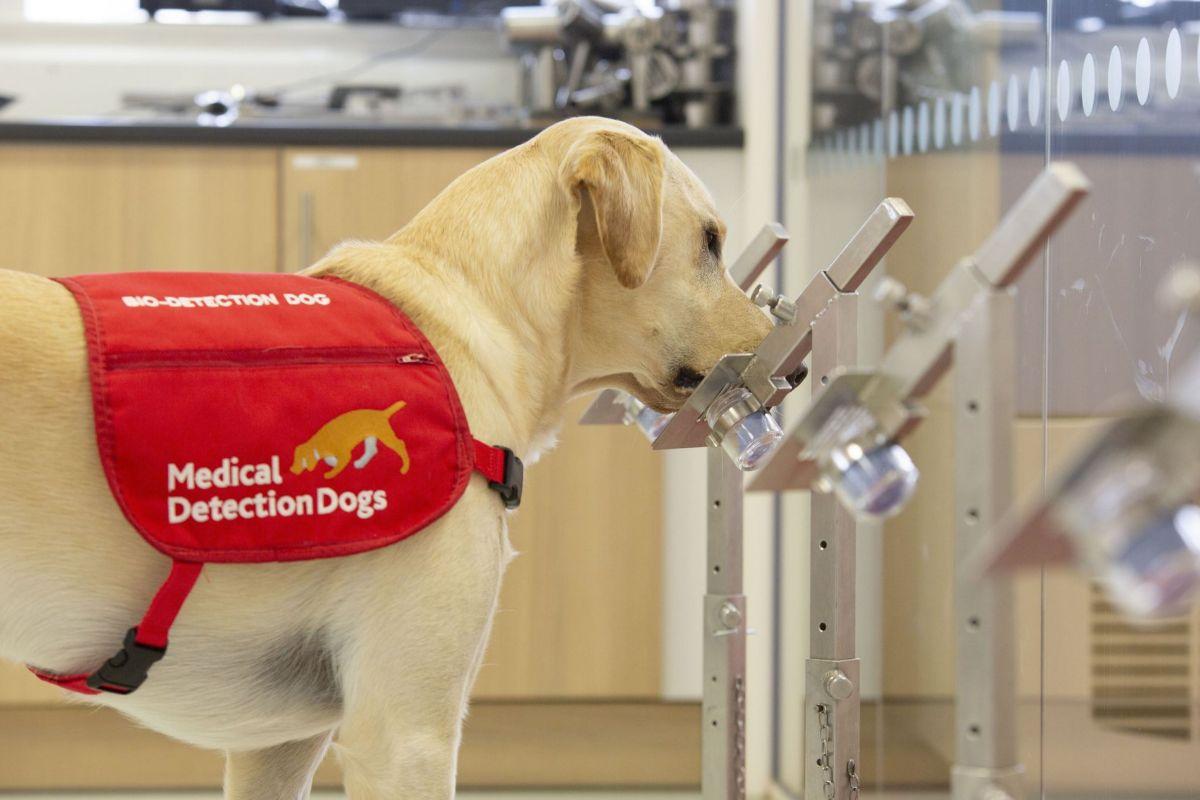 El perro Storm olisquea una muestra de olor durante un entrenamiento