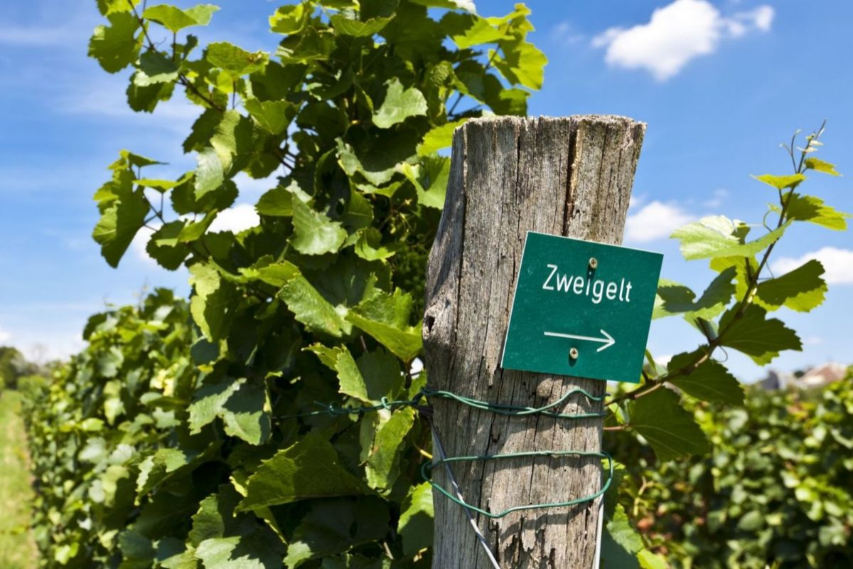 Una viña con plantación de la variedad Zweigelt.