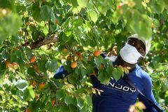 Un trabajador recolecta albaricoques, en una finca del campo de Cieza (Murcia).