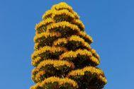 El Agave caribeño florece tras 30 años.