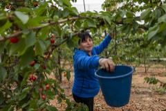 Una trabajadora recoge cerezas en una plantación en Huesca