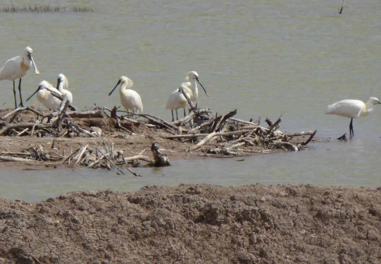 Un grupo de espátulas, en uno de los vaciaderos del río.