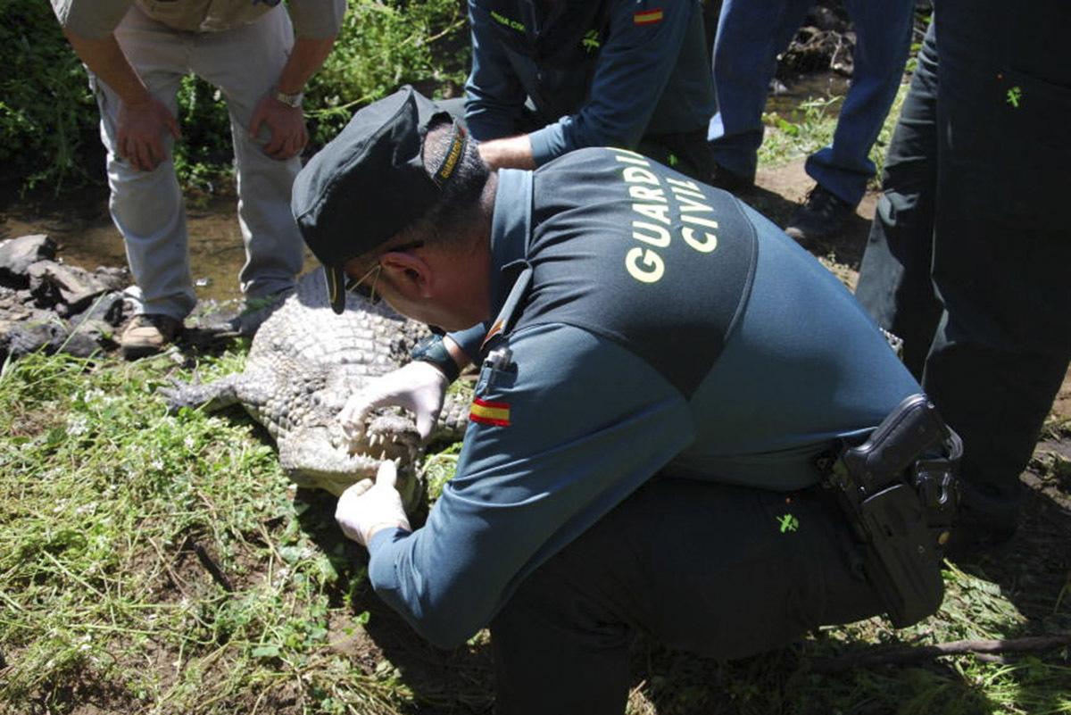 Un agente, en un momento de la captura del cocodrilo.