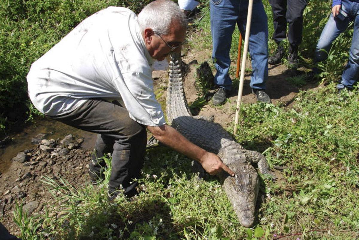 Detalle de la captura del cocodrilo.